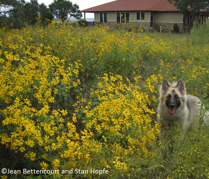 German shepherd in Copper Canyon daisy