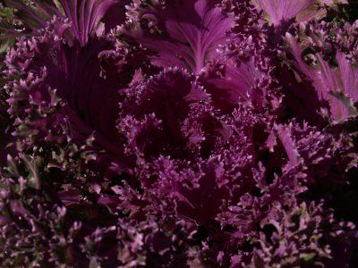 Kale (Ornamental)