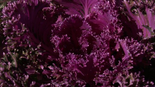 POW ornamental kale super purple