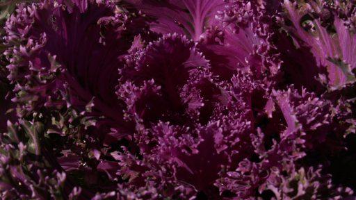 POW ornamental kale super purple
