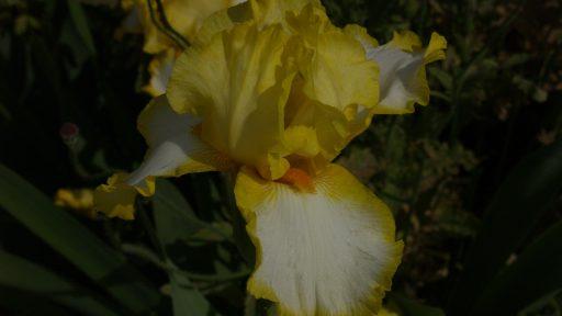 POW welch iris