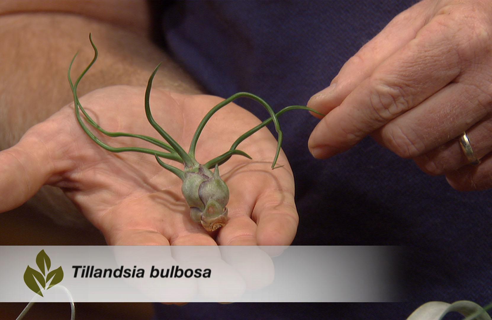 Growing tillandsias Central Texas Gardener