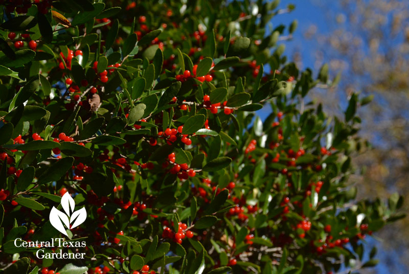 yaupon holly berries austin texas