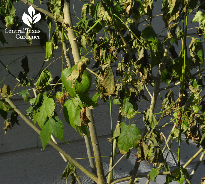 abutilon freeze damage austin texas