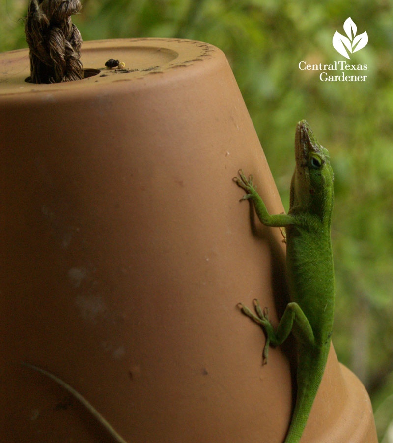 anole on hanging pot austin texas