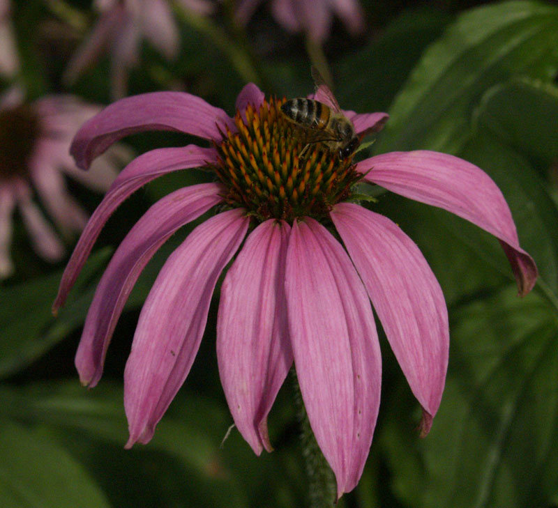 bee on coneflower austin texas