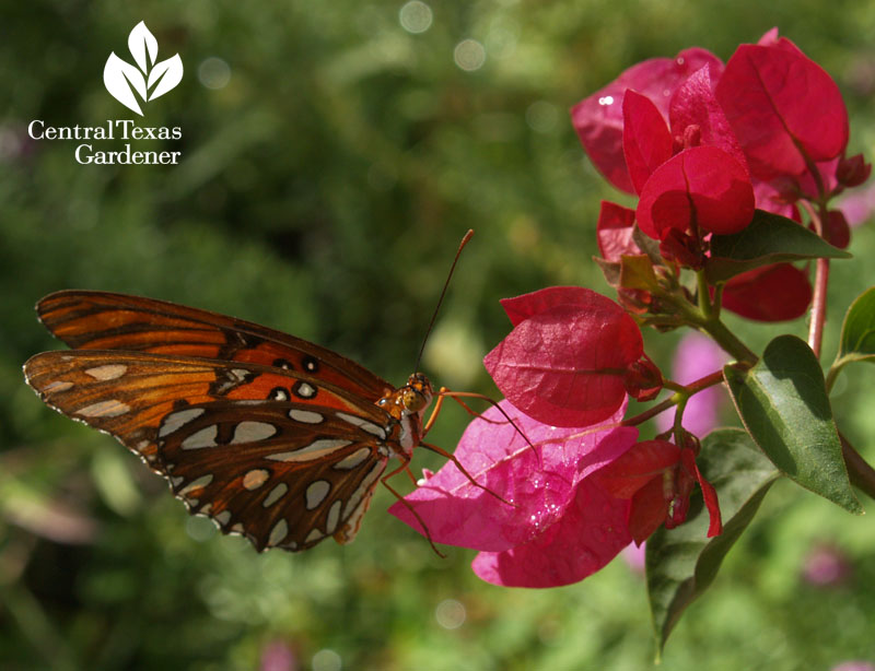 Gulf Fritillary butterfly on bougainvillea austin texas
