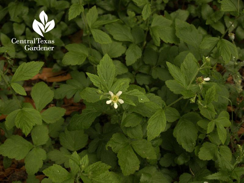 geum canadense flower austin texas