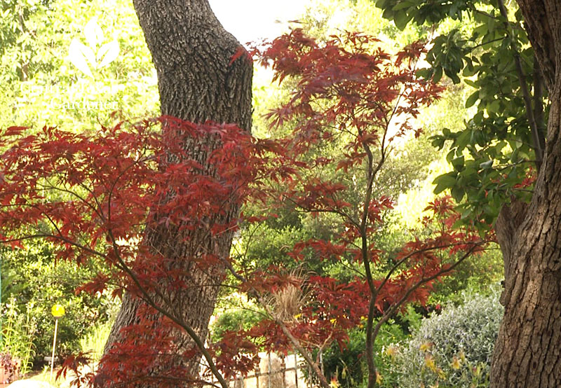 growing Japanese maple Central Texas Gardener