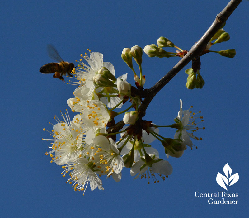 Bee on Mexican plum flower native texas plant