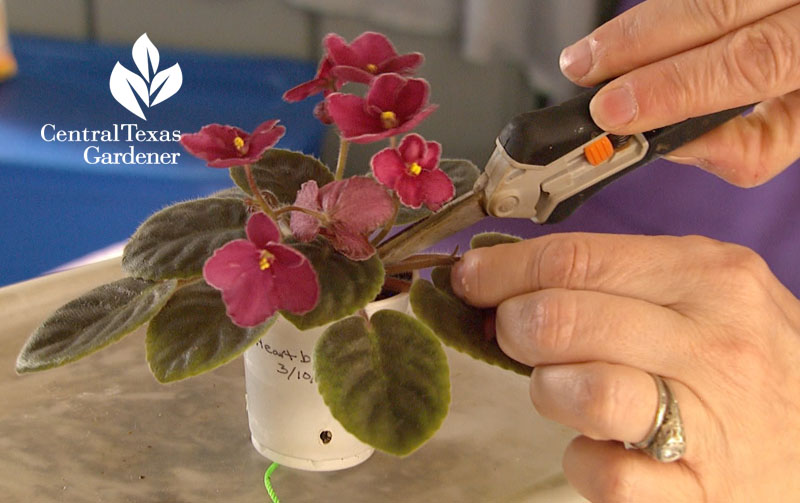 Pruning African violets Central Texas Gardener
