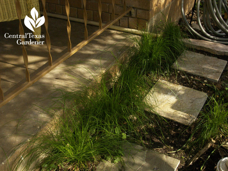 Texas sedge against porch foundation austin
