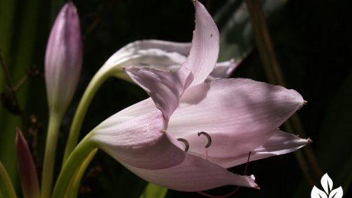 crinum lily austin texas