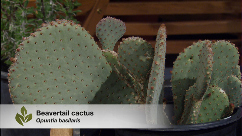 beavertail cactus eric pedley on Central Texas Gardener