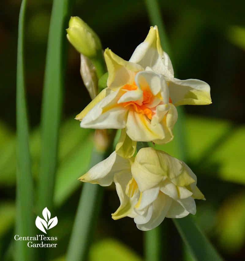 narcissus abba central texas gardener spring