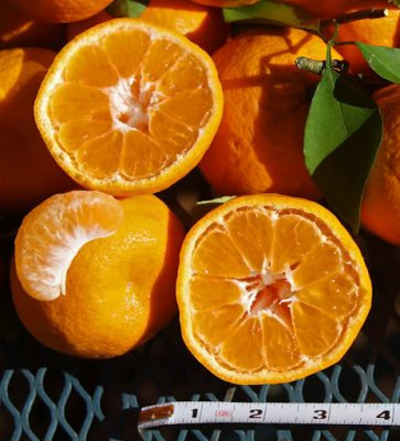 Satsuma 'Orange Frost'