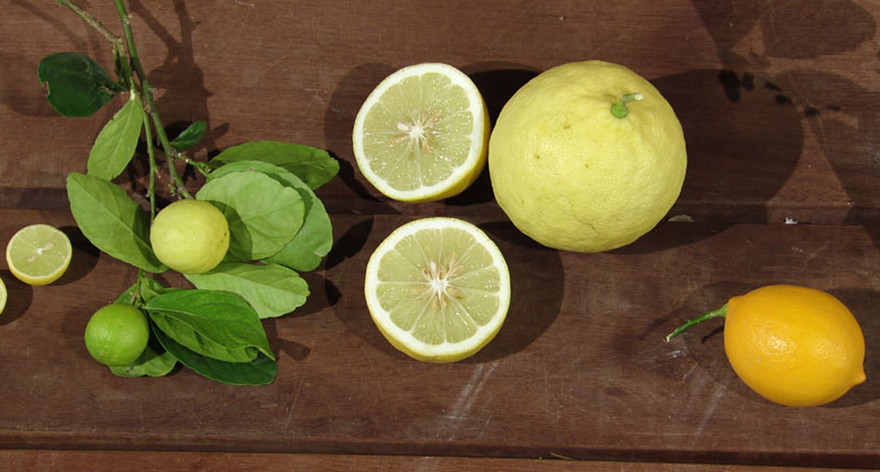 Key lime, ponderosa lemon, Improved Meyer lemon central texas gardener