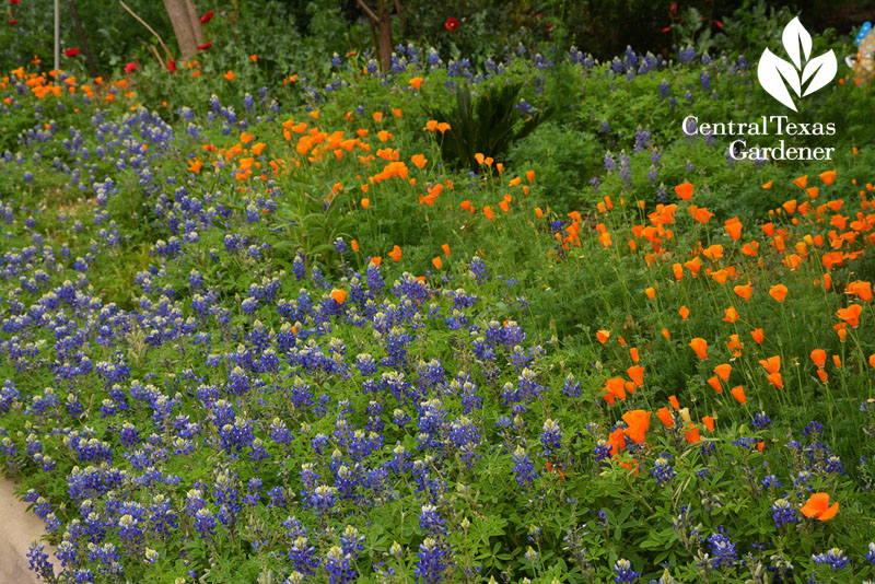 bluebonnets california poppies front yard instead of lawn