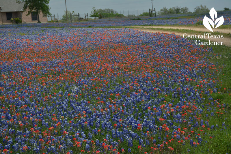 Bluebonnets Indian paintbrush prairie restoration central texas