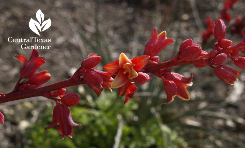 brakelights hesperaloe flower austin texas