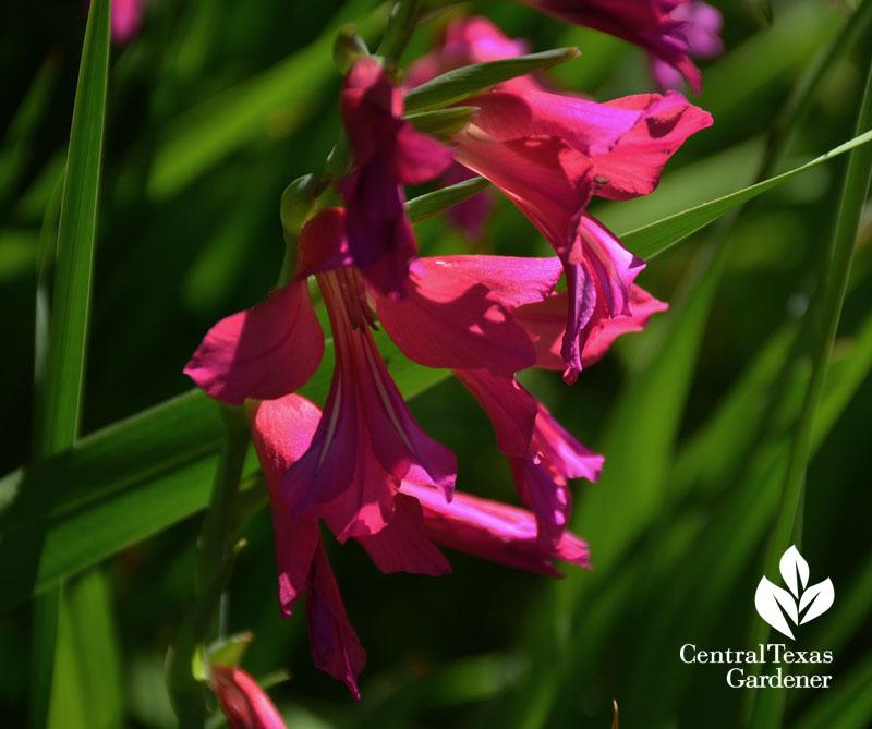 byzantine gladiolus austin garden