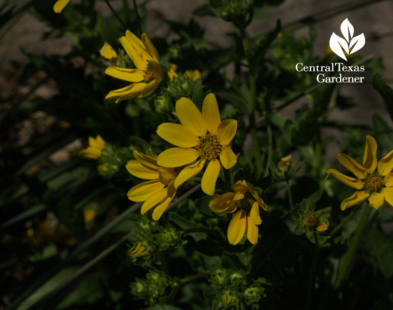 Engelmann's daisy native plant for wildlife