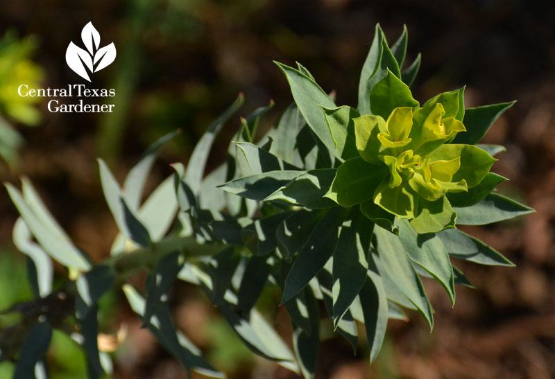 Gopher plant euphorbia rigida bract austin texas