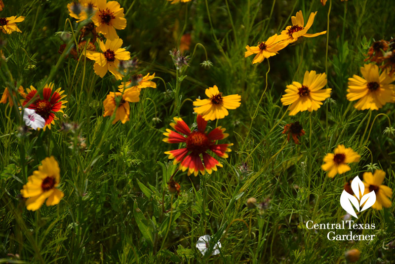 Wildflower Indian blanket and Thelesperma Austin Texas