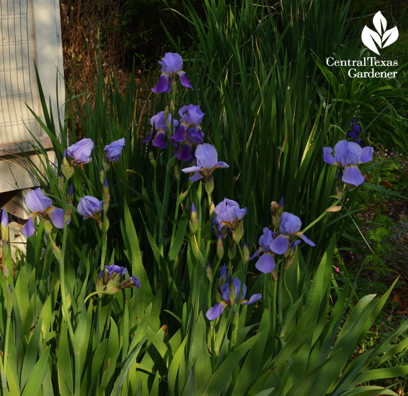 Bearded iris and spuria iris structural drought plants