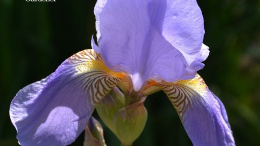 Lavender bearded iris austin texas drought