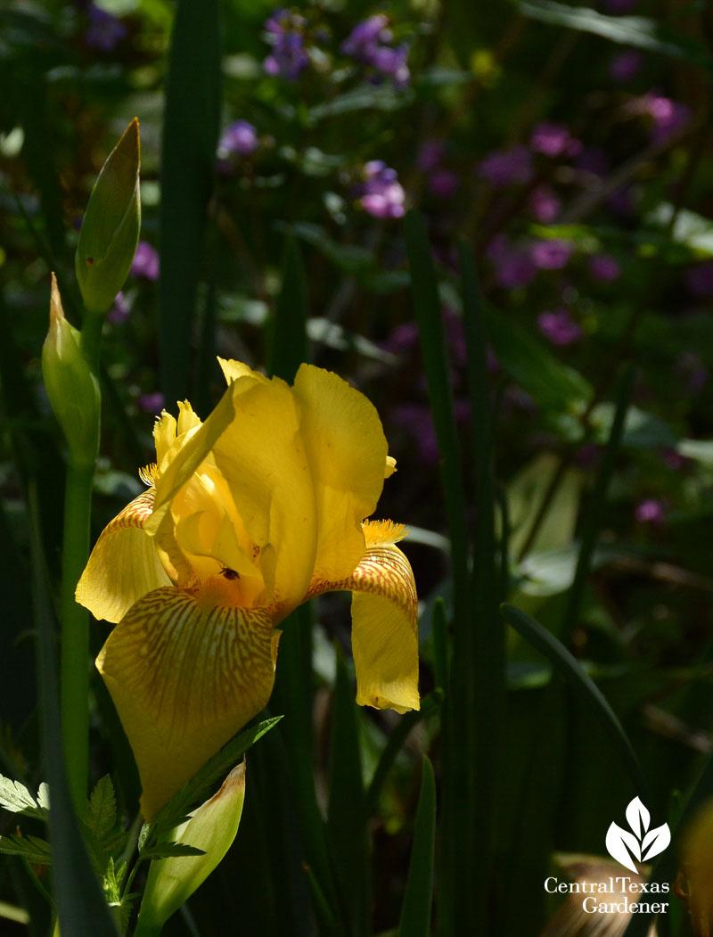 Yellow bearded iris with Gulf penstemon