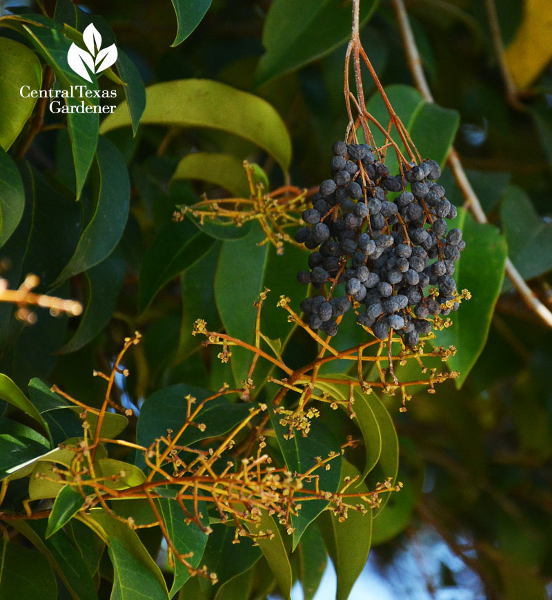invasive ligustrum berries