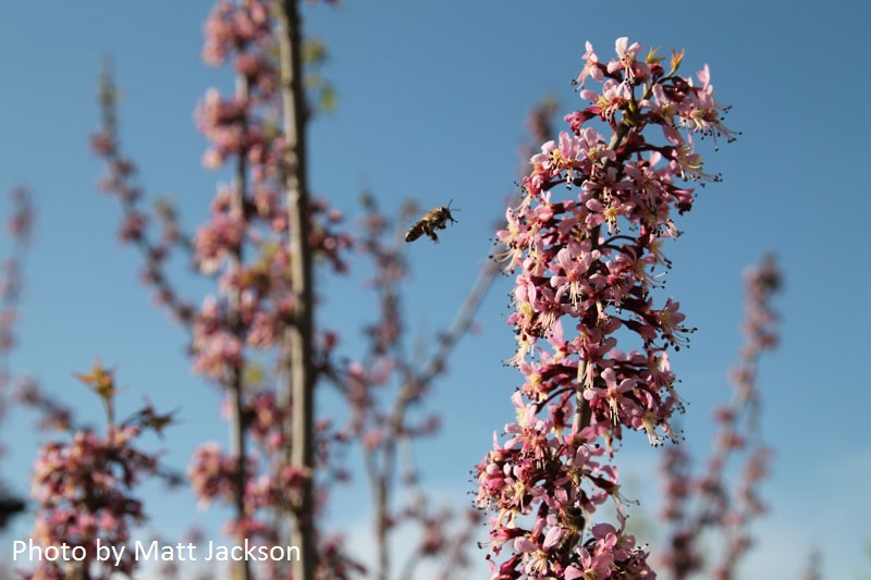 bee on Mexican buckeye photo by Matt Jackson