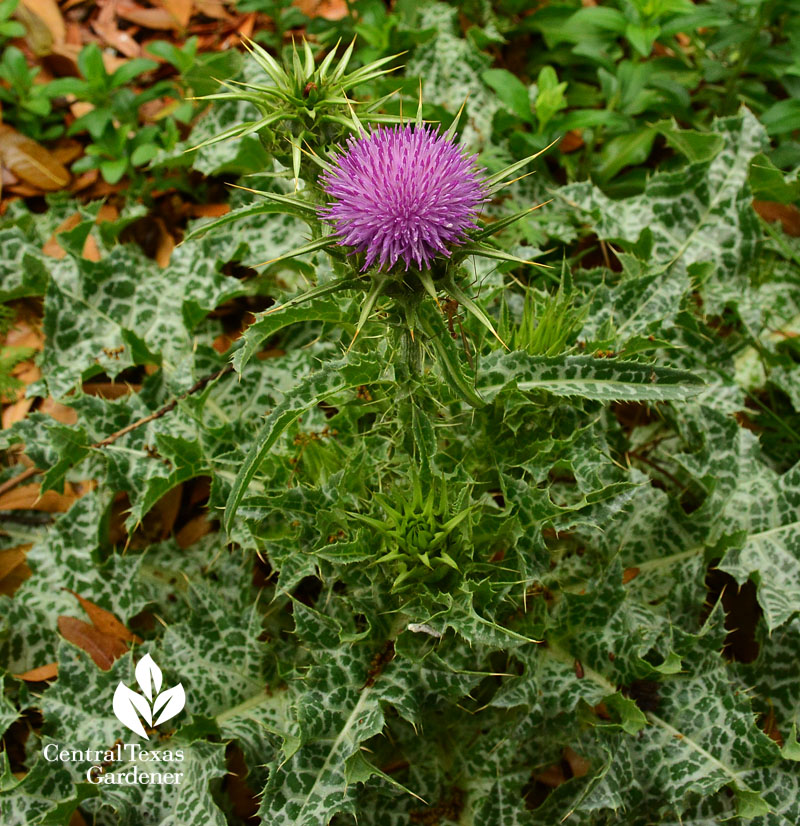 milk thistle flower central texas