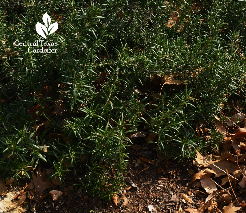prostrate rosemary rooting austin texas drought