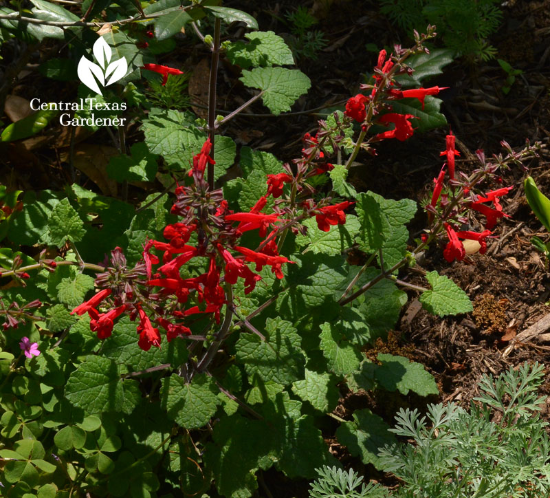 salvia roemeriana native perennial