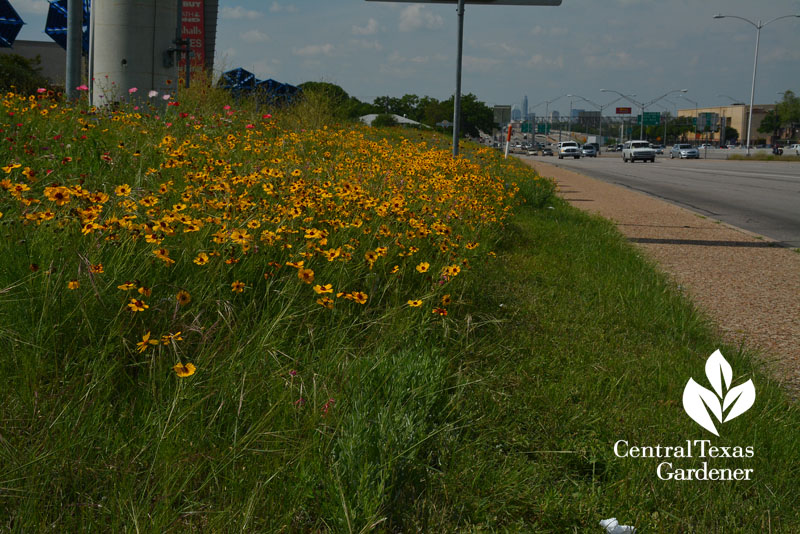 Wildflower Thelesperma I-35 Mueller strip