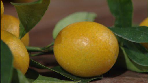 Trisha Shirey Kumquat