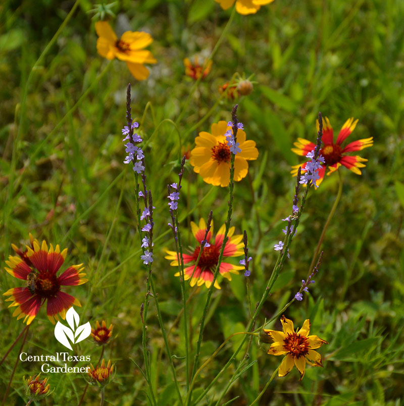Wildflower Texas vervain Thelesperma Indian blanket austin texas