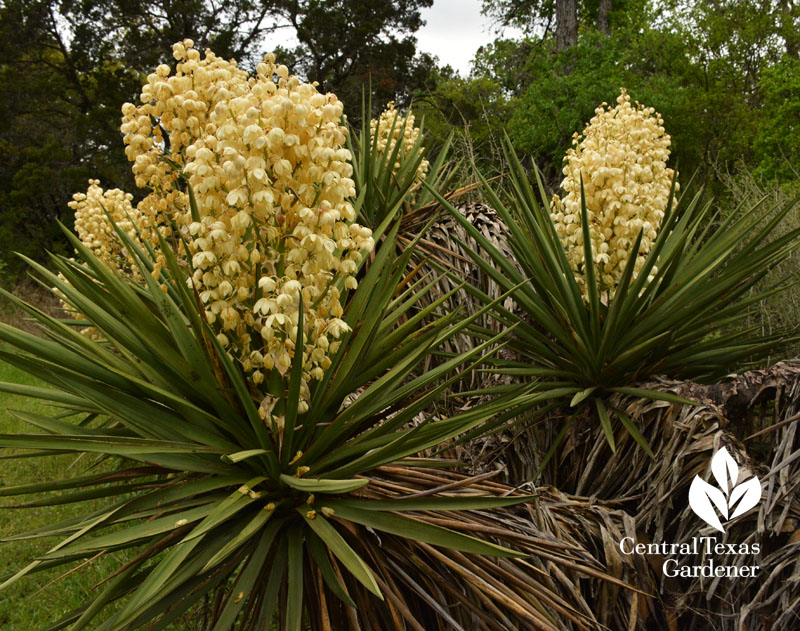 yucca blooms Mayfield Park austin texas