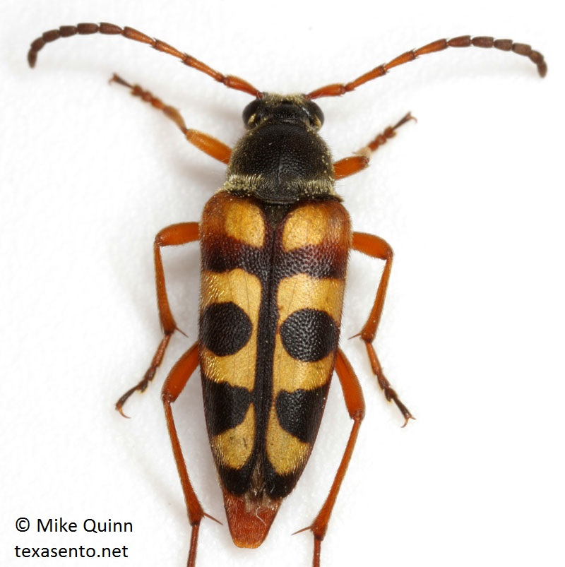 Typocerus sinuatus - Notch-Tipped Flower Longhorn photo by Mike Quinn