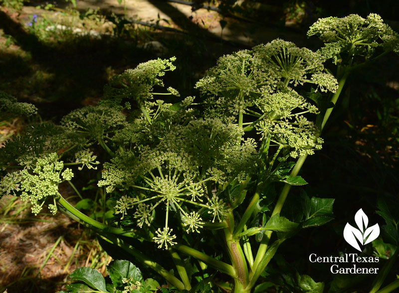 Angelica pachycarpa flowers