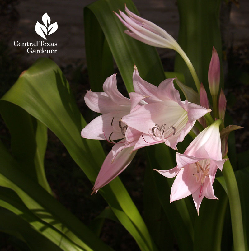 Pink crinum lily Central Texas Gardener