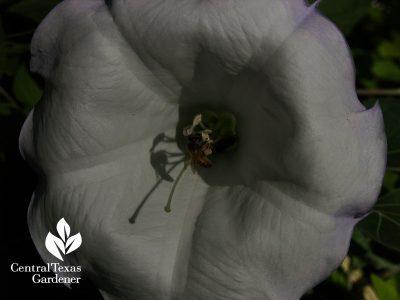 Bee on Datura wrightii