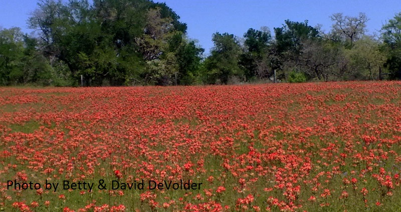 Indian paintbrush field photo by Betty and David DeVolder
