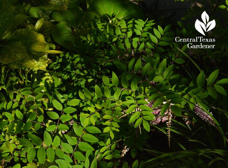 indigofera kirlowii Central Texas Gardener