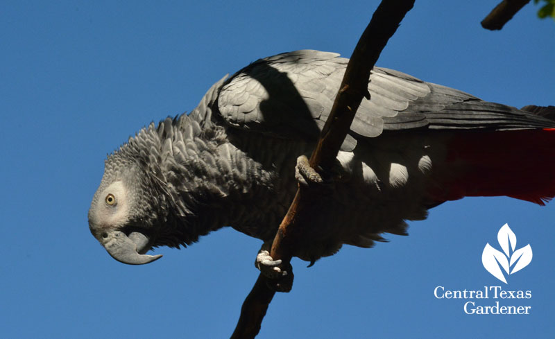 African Gray parrot outside for a visit with central texas gardener