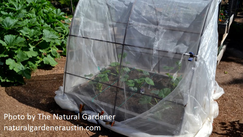 micromesh cover over squash photo by the Natural Gardener