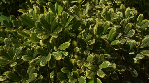 pow cream de mint pittosporum