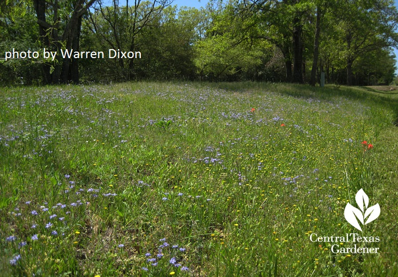 Native Texas vervain field photo by Warren Dixon